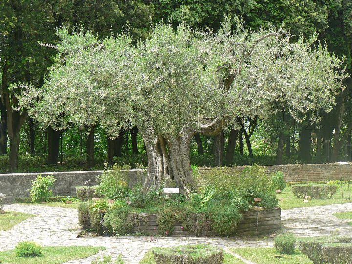An ancient olive tree at the center of the upper garden.