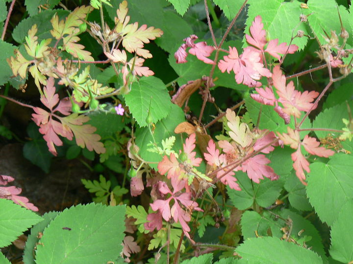 I'm not altogether certain, but I believe the fading foliage may be dicentra.