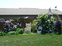 Front view of yard, clematis & viburnum