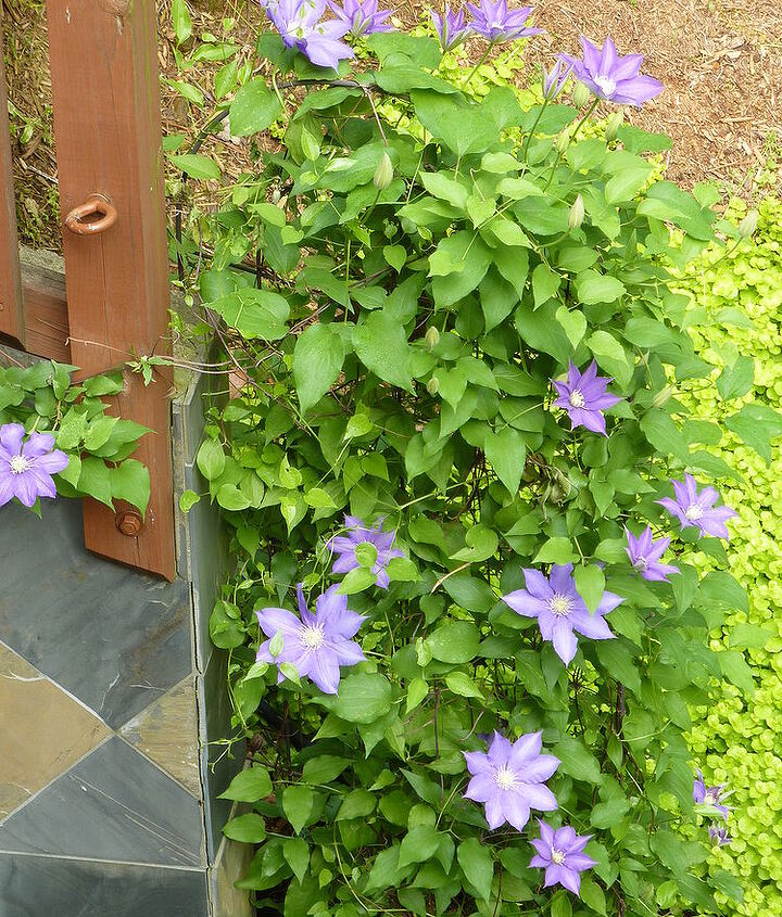 Purple Clematis is bursting!