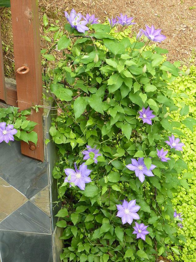 Purple Clematis is bursting!