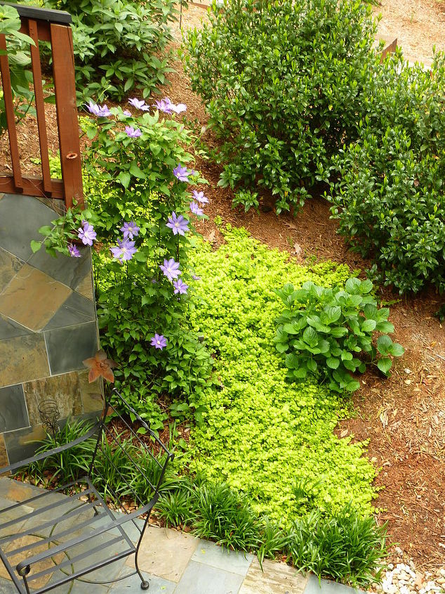 Purple Clematis, creeping jenny that spread like wildfire this Spring!, hydrangeas, gardenias, monkey grass