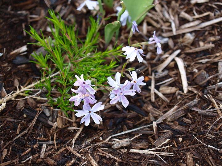 my flower beds, flowers, gardening