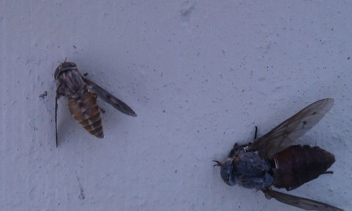 Smaller Deer Fly killed minutes after the larger one.