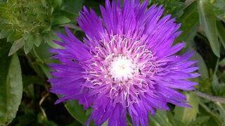 q plant identification, flowers, gardening, Stokes