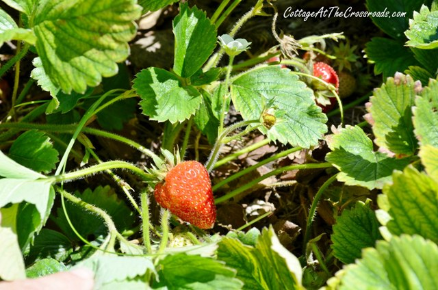 We've been getting some luscious strawberries this spring!
