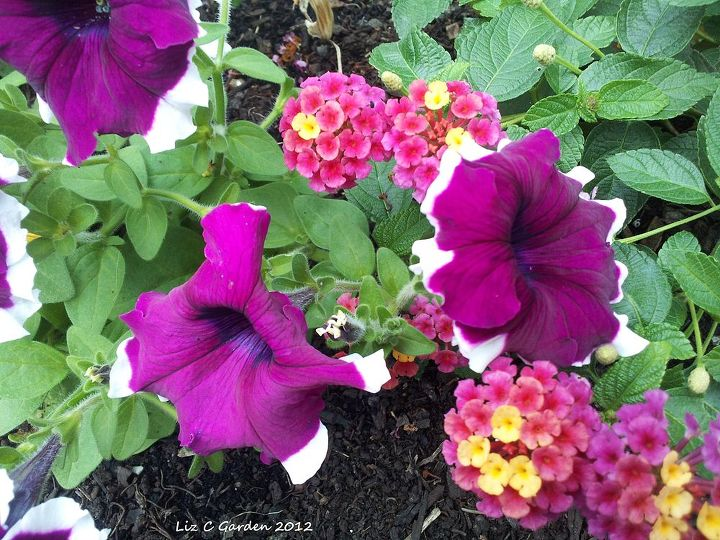 my garden late spring early summer blooms pt 1, container gardening, flowers, gardening, perennial