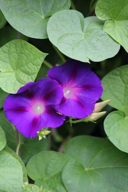 growing morning glories, gardening, Glorious blooms