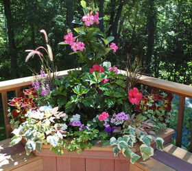 Container Plants That Last Till Frost, Container Gardening, Flowers,  Gardening, Hibiscus,