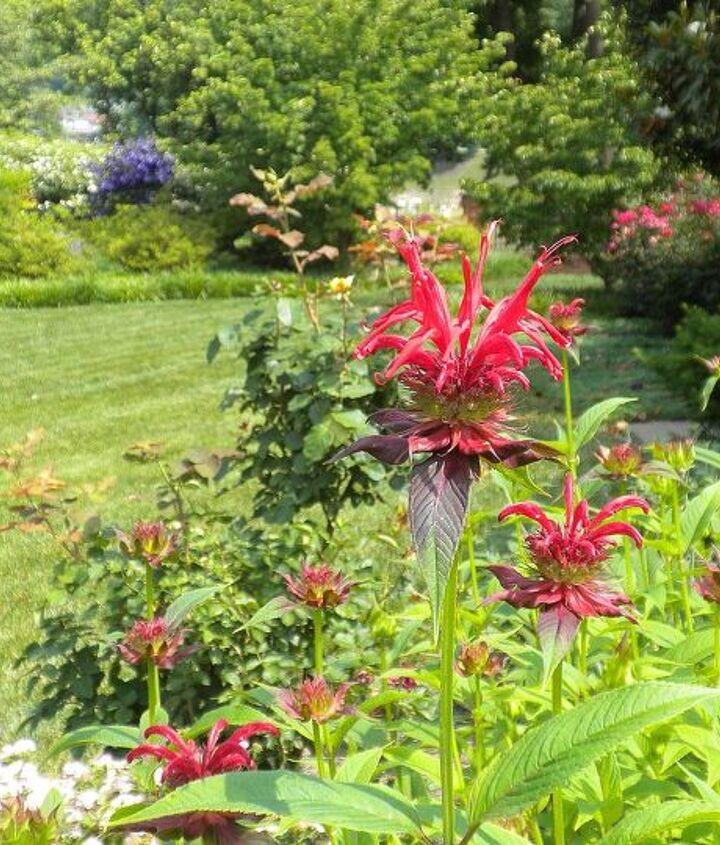 Bee balm (June)