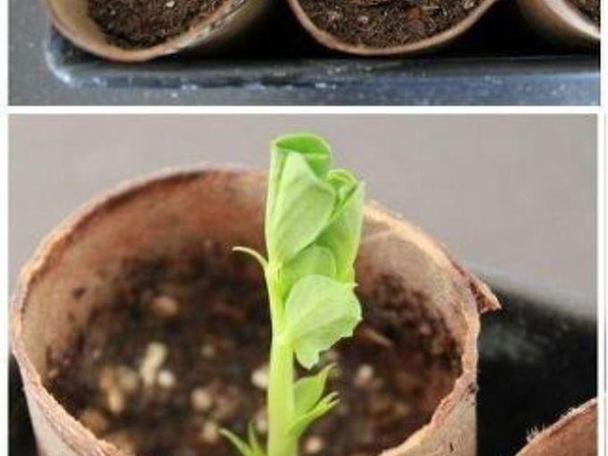 toilet paper roll seed starters, gardening, repurposing upcycling, Start Seedlings Indoors