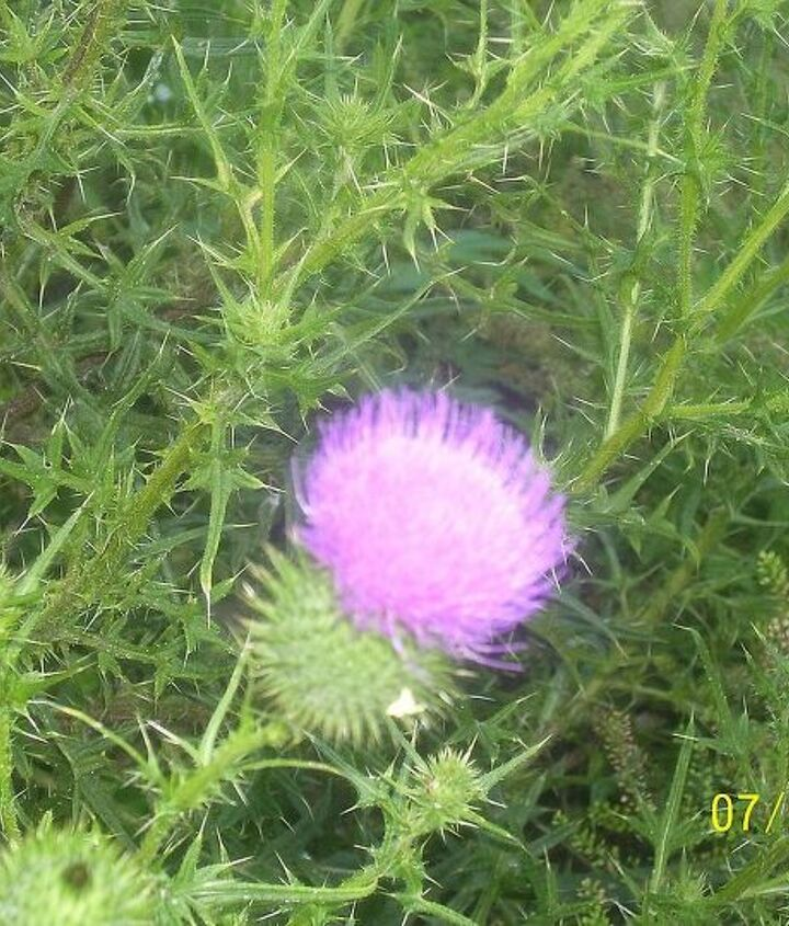 should get rid of the thistles