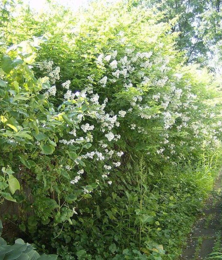 my white rose hedge