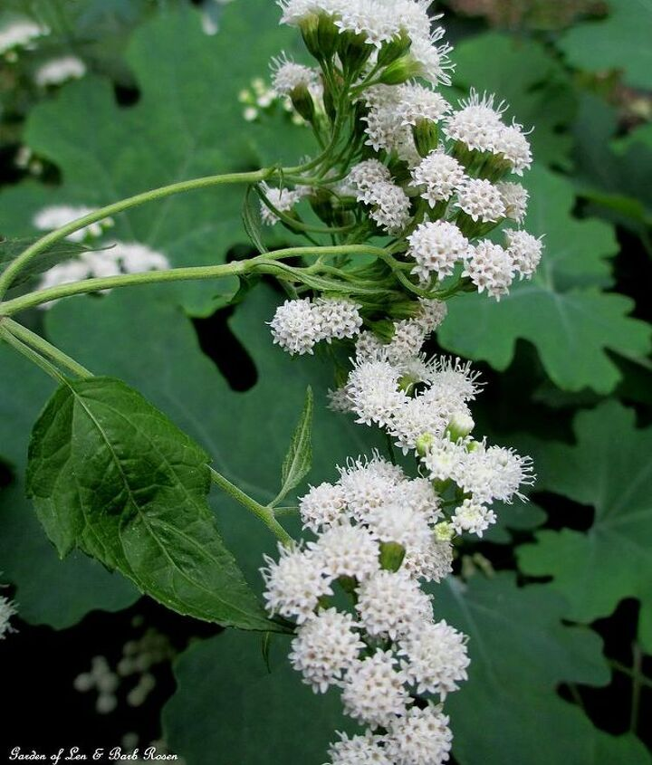 Native Snakeroot ~ This is poisonous so be careful not to plant where young children might play. http://pinterest.com/barbrosen/our-fairfield-garden/