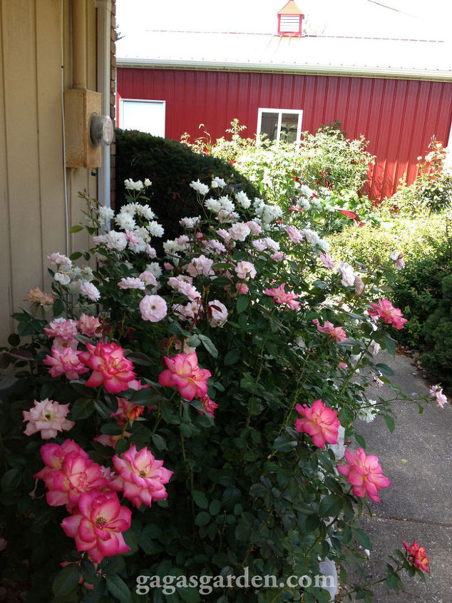 Glowing as if fluorescent Floribunda Country Rose Garden in Bloom. #springgardening #bloom #illinois #roses