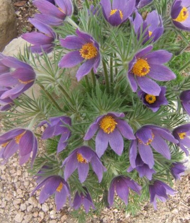Pulsatilla is an excellent plant for the rock garden.