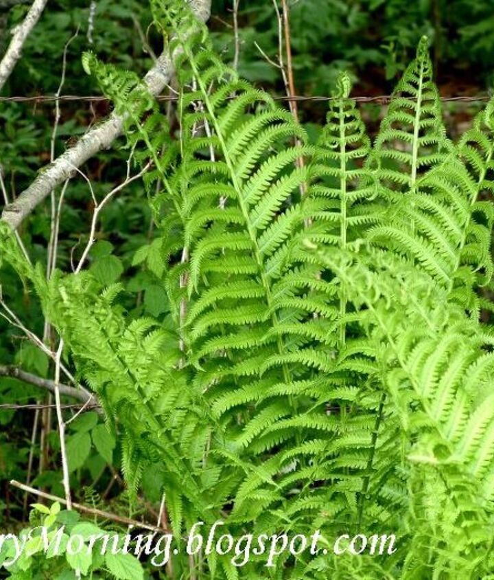 Wild fern (and there are a ton of them!) growing in the ditches