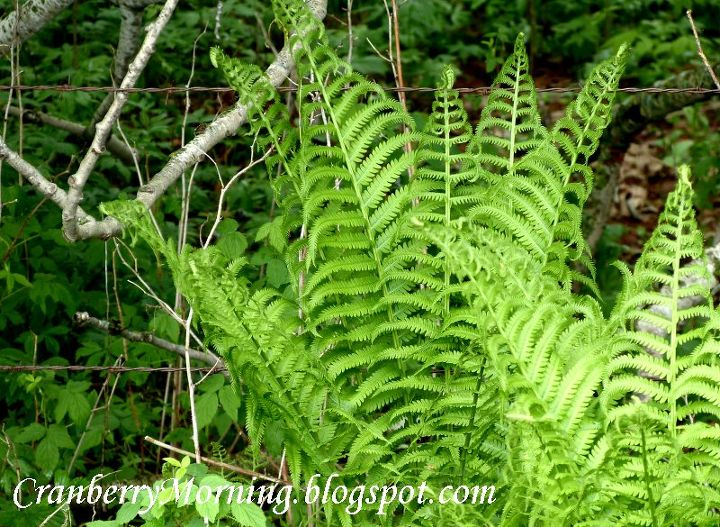 q transplanting wild ferns, gardening, Wild fern and there are a ton of them growing in the ditches