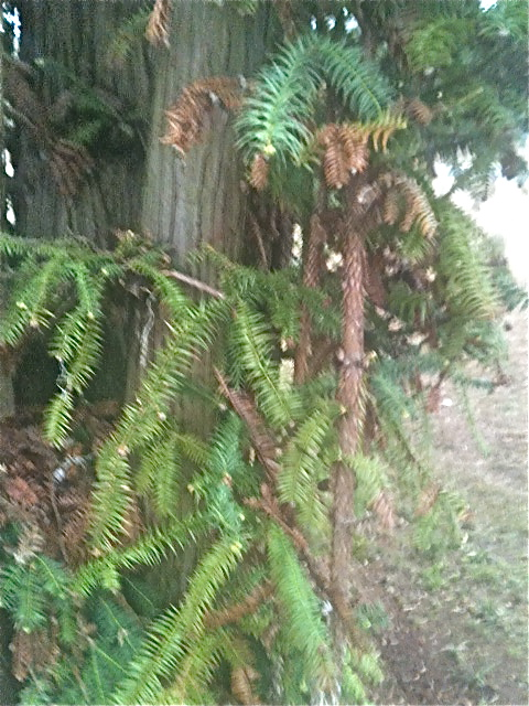 q anyone know what kind of tree this is i have it on a customers property but have, gardening, landscape