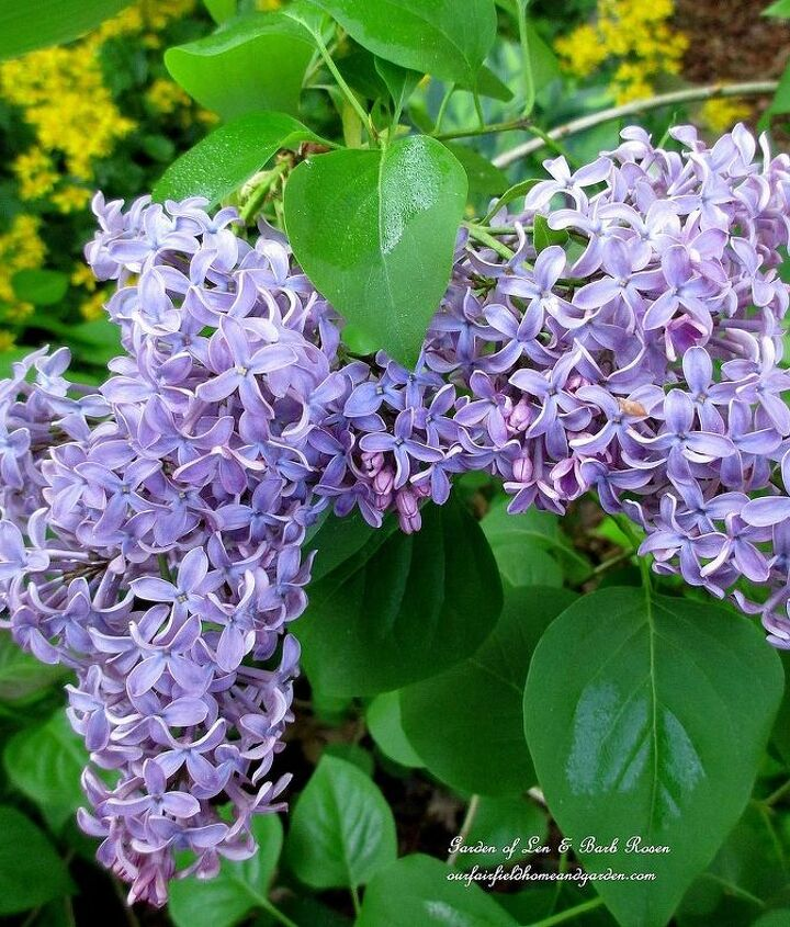 Lilac ~ from a start from Mom's bush