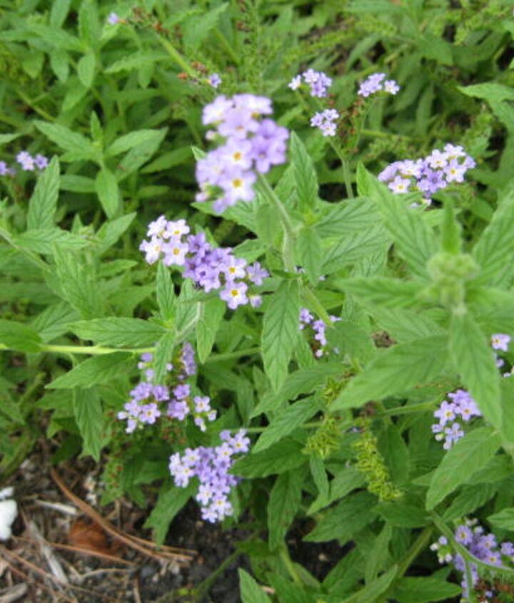 flowering weed, flowers, gardening