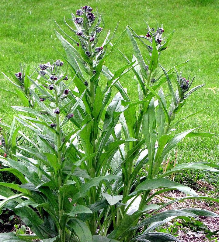 they are a tall plant that sprung up quickly with kind of a bell shaped flower.