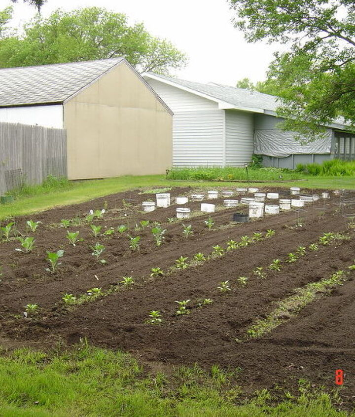 There are kohlrabi, peppers,cabbage, broccoli in lower portion and the tomatoes are surrounded by the buckets which I soon remove.
