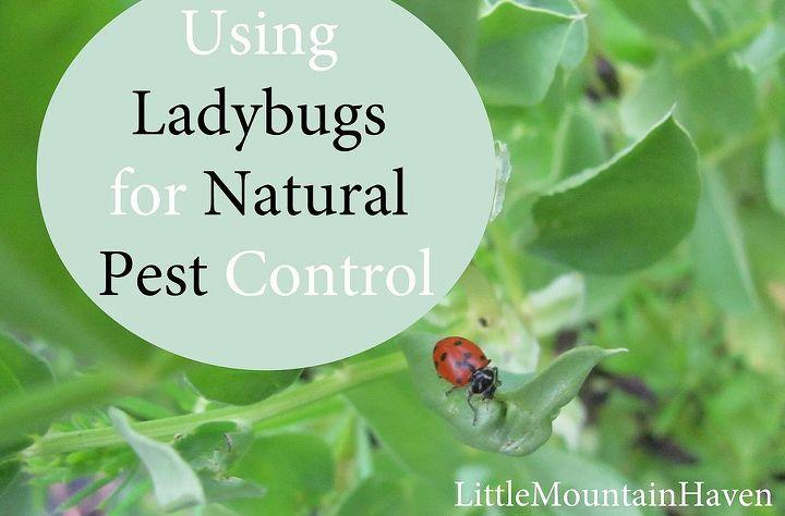 natural pest control using ladybugs, gardening, go green, homesteading, pest control