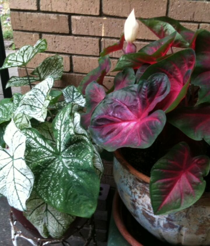 Caldiums in Bloom-May 28, 2012