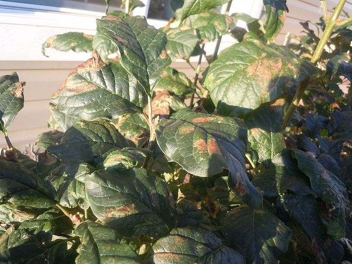 brown spots on lilac leaves, gardening