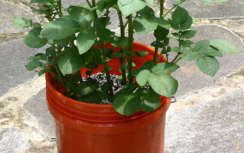 Planting White Potatoes in a Tub or Bucket