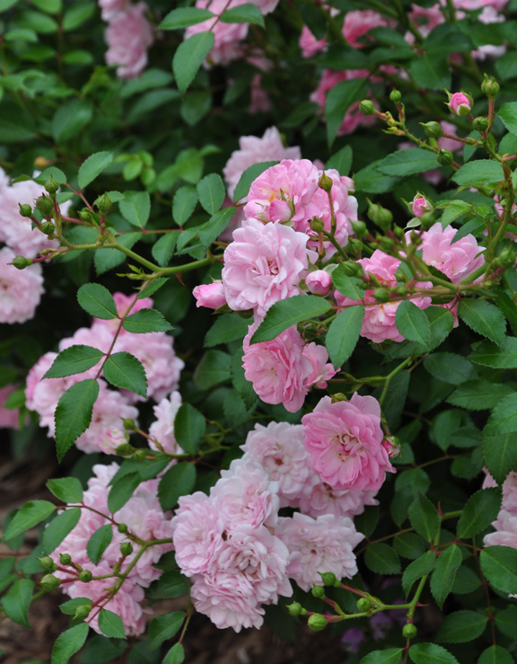 a rose covered cottage, container gardening, flowers, gardening, The Fairy Rose is a Polyantha rose that grows 2 to 3 feet high and wide
