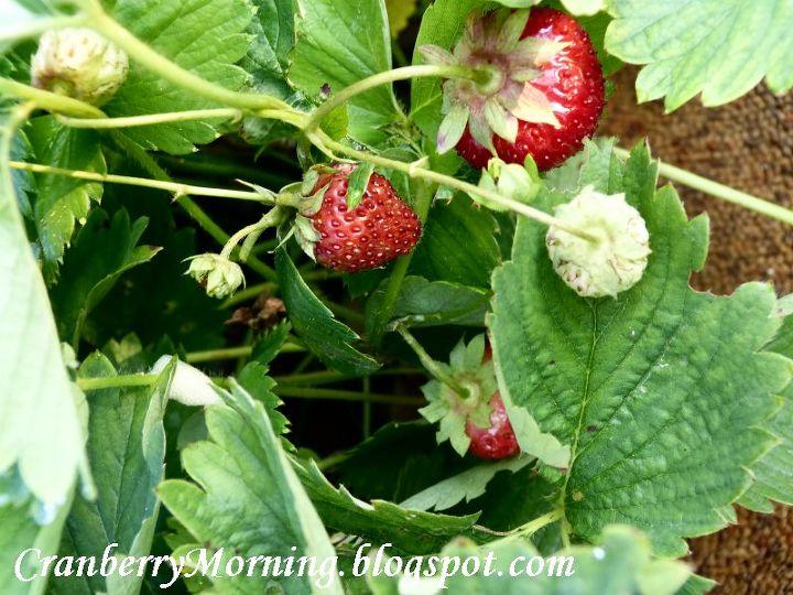 Strawberries in my garden.
