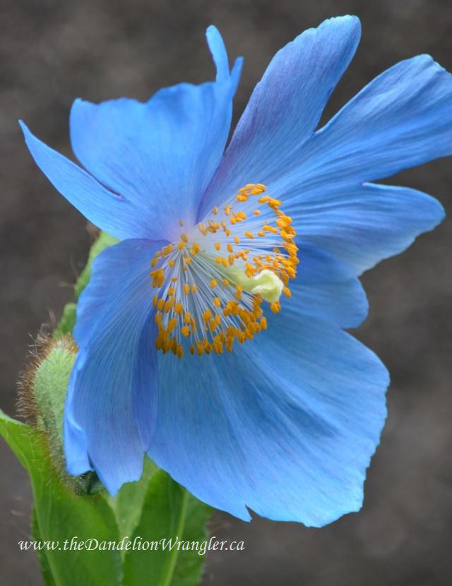 starlette s of the shade garden, flowers, gardening, Meconopsis Grandis or Blue Asiatic Poppy can be difficult to site It needs loose well drained fertile soil in part shade Once established it will bloom like gangbusters for you every June July