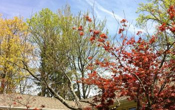 japanese maple this year not doing well, gardening, landscape