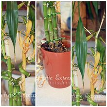 artistic expressions by elisabeth how to repot a dying lucky bamboo plant tutorial
