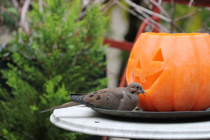 A lone Jack-O-Lantern enjoys seeing how a mourning dove holds a seed in his/her beak! INFO on Mourning Doves @ http://bit.ly/13kijm0 AND @ http://bit.ly/17AAd1x