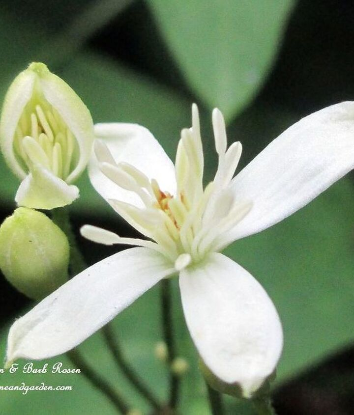 Sweet Autumn Clematis http://ourfairfieldhomeandgarden.com/seasonal-blooms/fall/