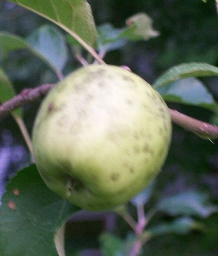 One  of a dozen pink lady apples with black spots
