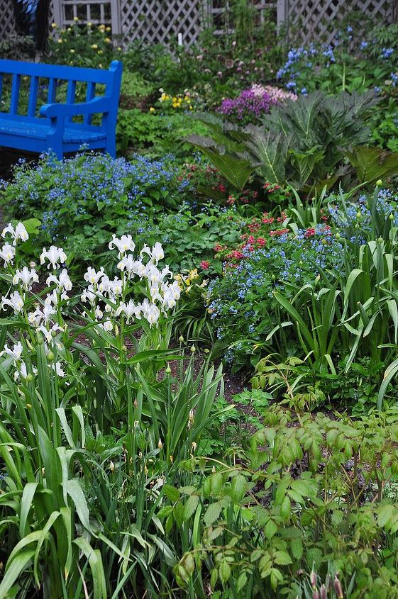 The vivid, blue wooden bench by the pond. You can see white Iris Bucharica in the lower left foreground and patches of blue Brunnera macrophylla and pink lungwort to the right of the bench.