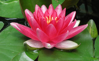 how to plant a waterlily, container gardening, gardening, ponds water features, Enjoy your beautiful waterlily all summer long