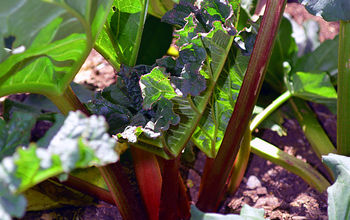 Harvesting Rhubarb and How to Freeze in 3 Easy Steps