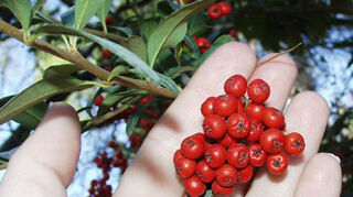 , Pyracantha picture