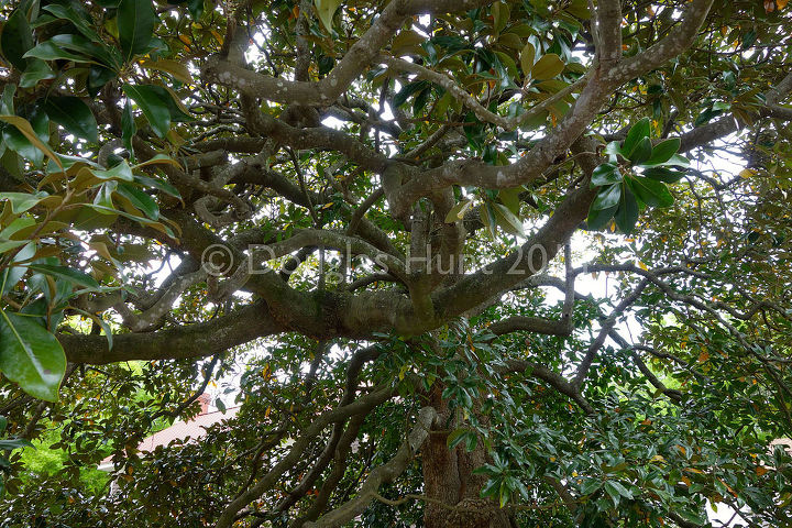 Looking up into a 100-year-old Magnolia grandiflora