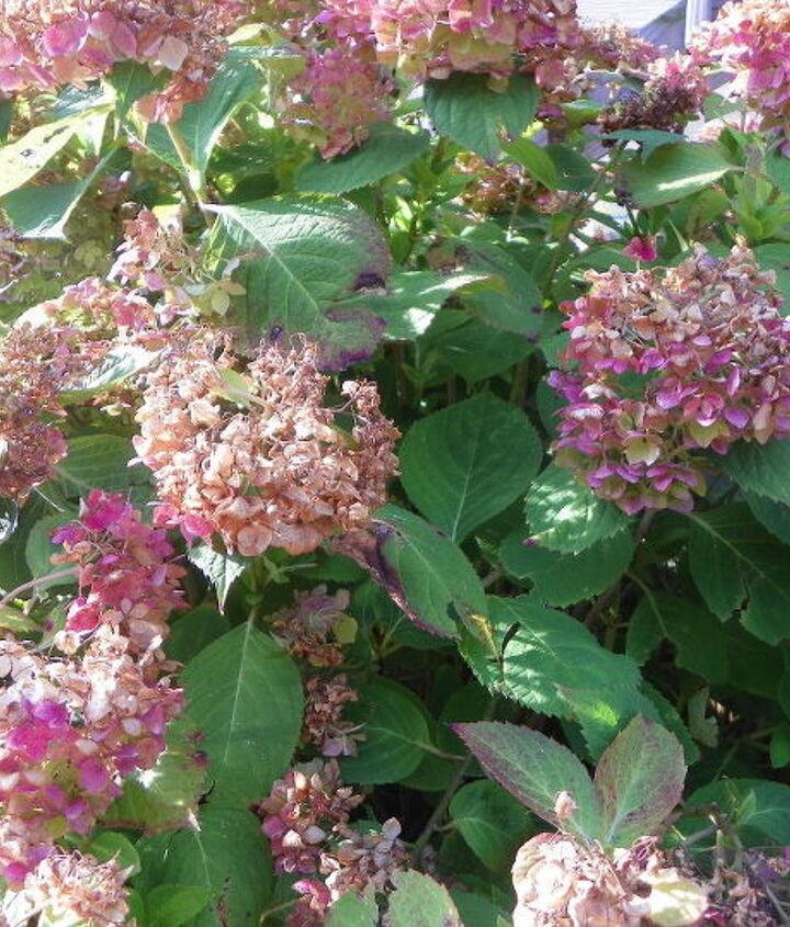 q what should i do to my hydrangeas, flowers, gardening, hydrangea