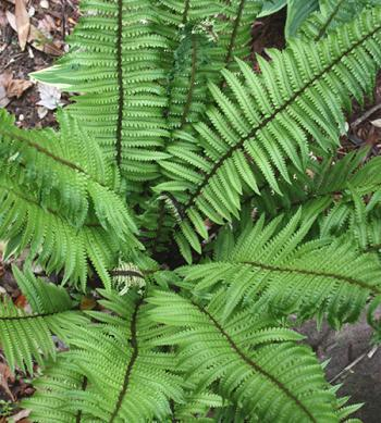 Dryopteris pycnopteroides or Japanese Wood Fern (via Plant Delights).