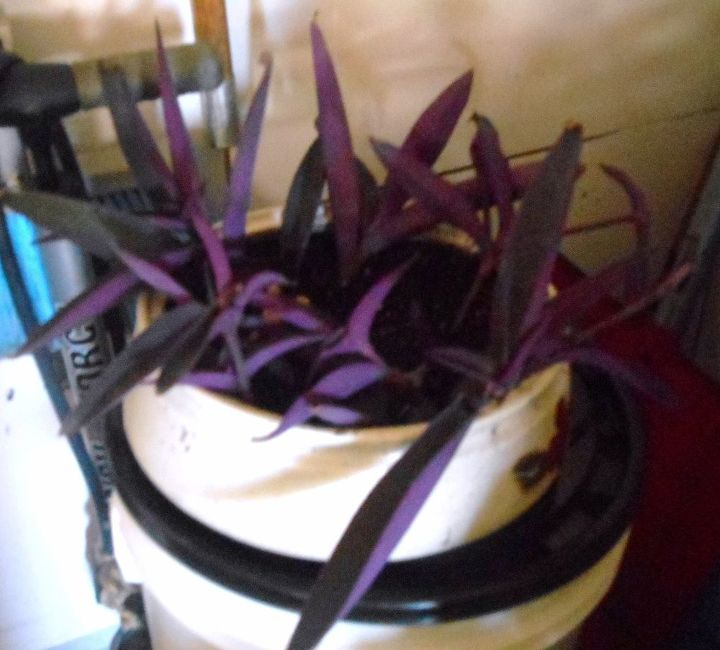 some annual plants can have a second life, flowers, gardening, Cuttings of purple wandering Jew that will root and take up yet another place in my gardens