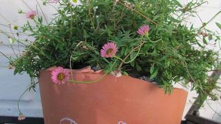 , I salvaged one pot that was half intact from the front and sat a black pot of dwarf seaside daisy inside it with its back to the wall to disguise the damage It trails down over the rough edges and hides the ugly inner pot