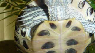 , My Sweet Quincy she knows I am taking her picture and she eats out of my hand I love it she is a red eared slider turtle