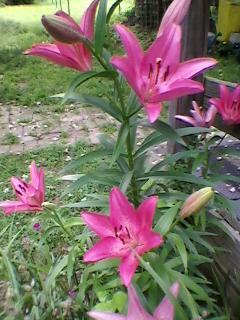 is this a daylily or something else, flowers, gardening